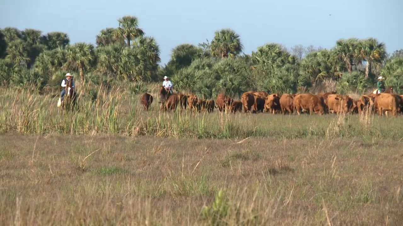 Join us for a 2-hour tour at Adams Ranch. Founded in 1937, Adams Ranch is a fourth-generation cattle business operating in St. Lucie, Madison, Okeechobee and Osceola Counties, headquartered in Fort Pierce.